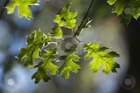 Backlit Oak Leaves stock photo, Backlit Oak Leaves with narrow depth of field. by Andy Dean