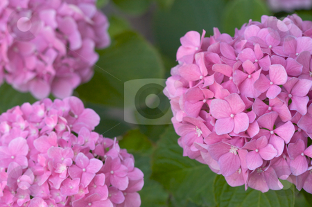 Beautiful Hydrangea Blossoms stock photo, Beautiful Hydrangea Blossoms by Andy Dean