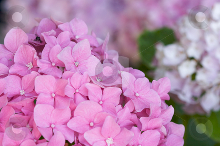 Beautiful Hydrangea Blossoms stock photo, Beautiful Hydrangea Blossoms close up. by Andy Dean