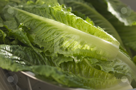 Fresh Romain Lettuce stock photo, Fresh Romain Lettuce in the sink. by Andy Dean