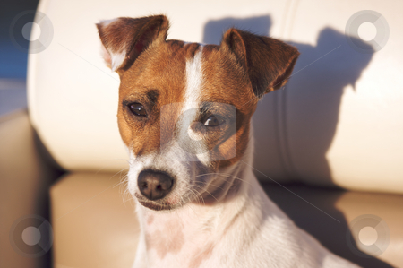 Jack Russell Terrier Portrait stock photo, Jack Russell Terrier Dog Portrait by Andy Dean