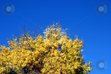 Yellow Autumn Tree stock photo, Yellow autoumn tree with blue sky in the background by Henrik Lehnerer
