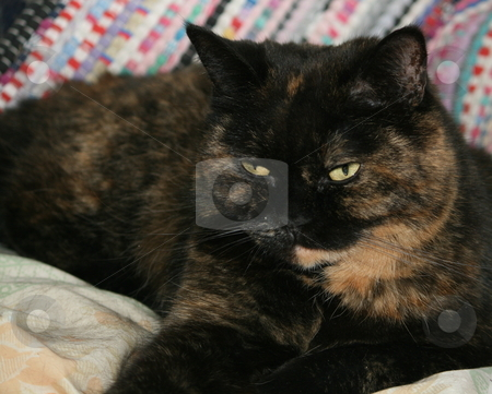 Persian Cat stock photo, A tortoiseshell Persian cat, waiting by Tom and Beth Pulsipher