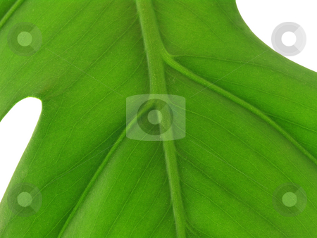 Leaf close up of veins stock photo, Leaf macro of veins on white background by John Teeter