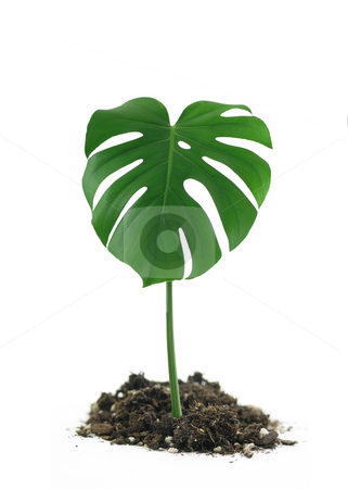 Monstera Deliciosa Leaf in dirt stock photo, Green Monstera Deliciosa Leaf in dirt on white background by John Teeter