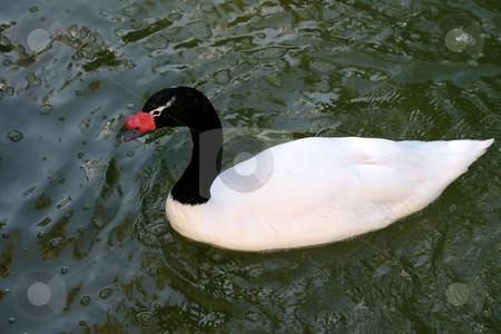 Duck stock photo, Black and white duck on water by Henrik Lehnerer