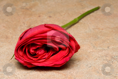 Red Rose stock photo, A single red rose for Valentine's day. by Robert Byron