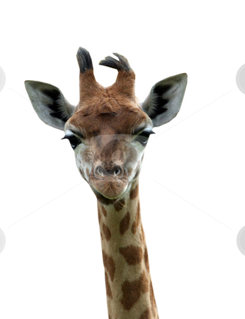 Isolated young giraffe stock photo, Portrait of young giraffe isolated on white background. by Martin Crowdy