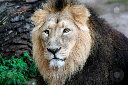 Close up portrait of face of lion stock photo, Beautiful portrait of a noble male Lion. by Martin Crowdy