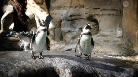 Humboldt Penguin stock photo, The Humboldt Penguins is a South American penguin, breeding in coastal Peru and Chile. by Henrik Lehnerer