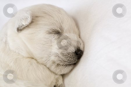 Sleeping puppy stock photo, Adorable sleeping puppy by Laurent Renault
