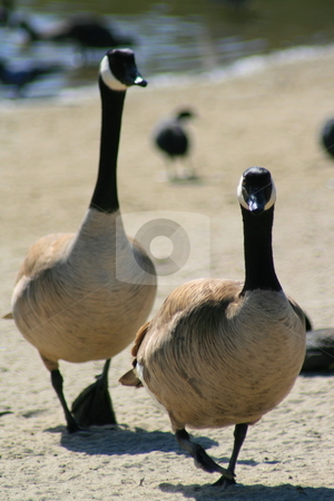 Canadian Geese Walking stock photo, Two Canadian geese walking in a park. by Michael Felix