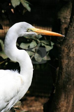Great White Egret stock photo, Close up of a great white egret. by Michael Felix