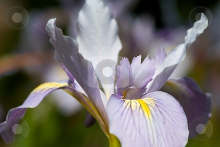 Iris Petals III stock photo, Closeup of a blooming Iris by Charles Jetzer