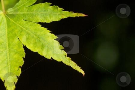 Japanese Maple Backlit stock photo, Macro of a backlit Japanese Maple leaf. by Charles Jetzer