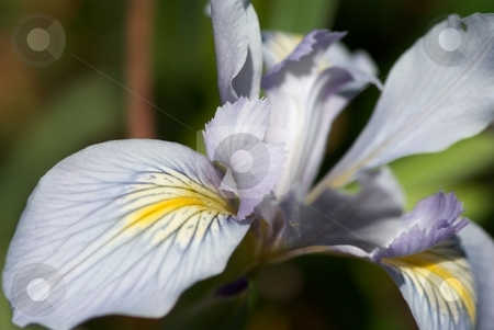 Iris Petals II stock photo, Closeup of an Iris Bloom by Charles Jetzer