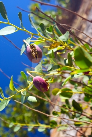 Pod on Blue stock photo, A Seed Pod cracked open on a background of blue sky by Charles Jetzer