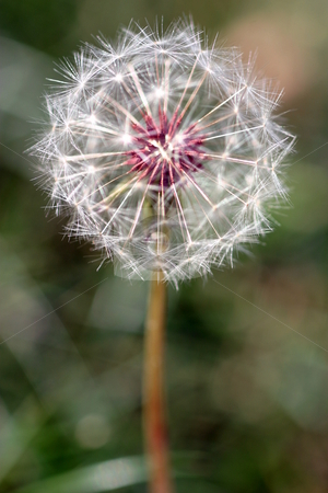 Dandelion Seed Head stock photo, Dandelion full seed head with blurred natural background. by Henrik Lehnerer