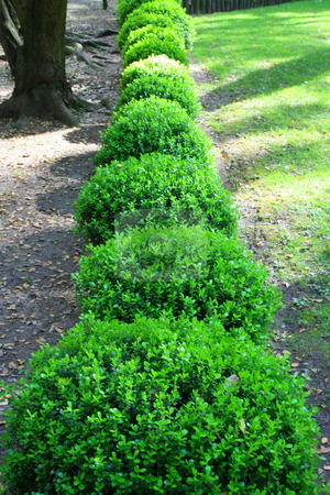 Japanese Boxwood Shrubs for Sale http://cutcaster.com/photo/100179735-Japanese-Boxwood-Shrubs/