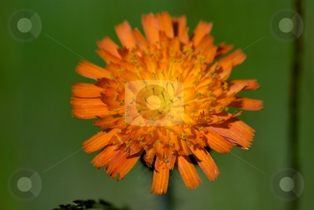 Orange Wildflower stock photo, Closeup of an orange wildflower bloom by Charles Jetzer