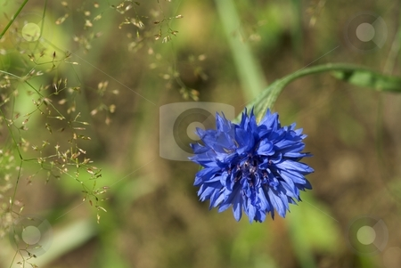 Blue Wildflower stock photo, Closeup of a blue wildflower bloom by Charles Jetzer