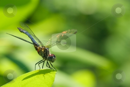 Perched Dragonfly stock photo, Closeup of a Dragonfly perched on a leaf by Charles Jetzer