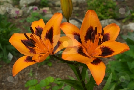 Orange Lily Pair stock photo, Closeup of orange Lily flowers by Charles Jetzer