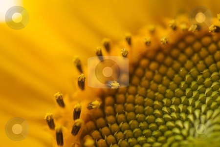 Sunflower Pollination Ring stock photo, Closeup of the pollination ring of a sunflower bloom by Charles Jetzer