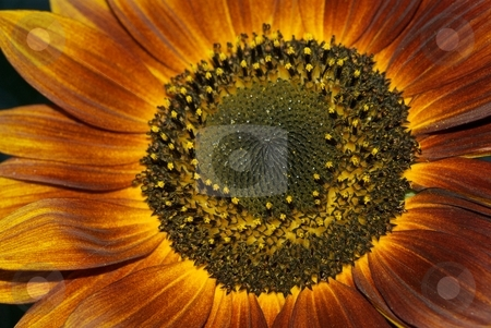 Bronze Sunflower with Yellow Ring stock photo, Closeup of a bronze blooming sunflower by Charles Jetzer