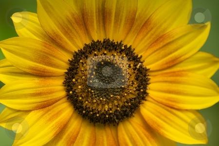 Yellow Sunflower with Orange Ring stock photo, Yellow Sunflower with orange ring by Charles Jetzer