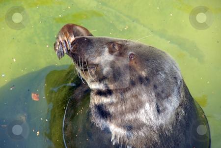 Seal swimming water stock photo, Seal swimming in green water. ocean animal by Joanna Szycik