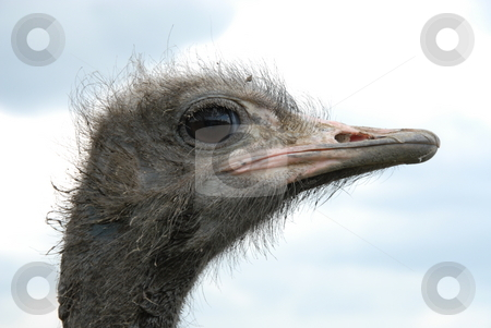 Ostrich stock photo, Picture of Ostrich - A portrait of an Ostrich with background of sky by Joanna Szycik