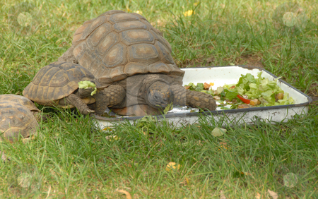 Tortoise stock photo, A large tortoise eating some fresh grass by Joanna Szycik