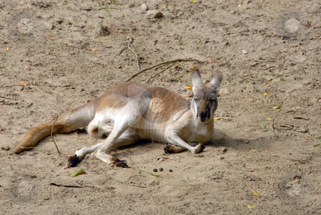 An eastern grey kangaroo stock photo, An eastern grey kangaroo sitting down and having a rest by Joanna Szycik