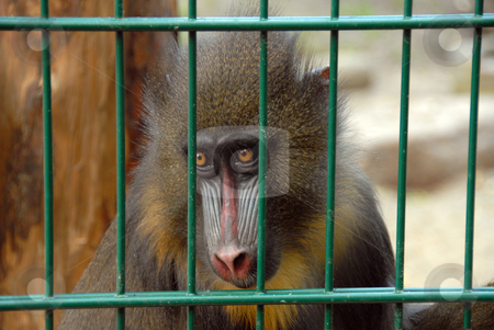 Monkey at zoo stock photo, A caged monkey looking out through the cage at zoo by Joanna Szycik