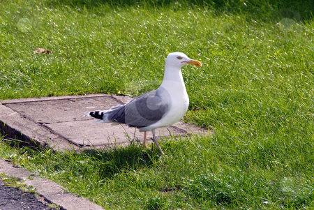 Gull stock photo, Gull is looking for food by Joanna Szycik