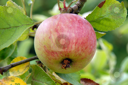 Apple stock photo, Photo of Apple on an Apple Tree by Joanna Szycik