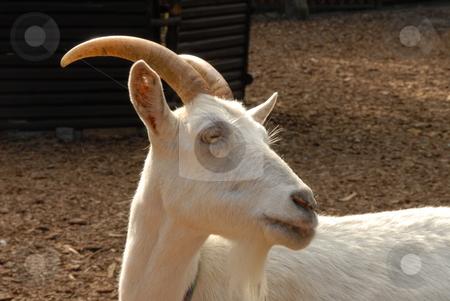 White goat stock photo, A white goat portrait - in a mountain by Joanna Szycik
