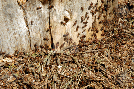 Ants stock photo, Ants devour his victims, and bury them in his tunnels by Joanna Szycik