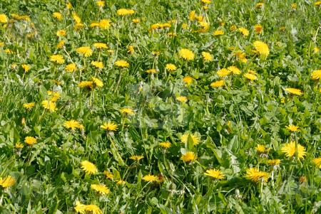 Dandelions stock photo, Spring flower landscape. Dandelions on a sunny day. by Joanna Szycik