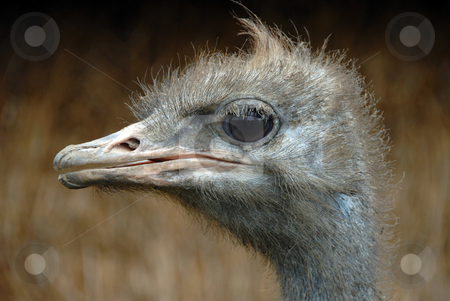 Ostrich stock photo, Picture of Ostrich - A portrait of an Ostrich with background out of focus by Joanna Szycik