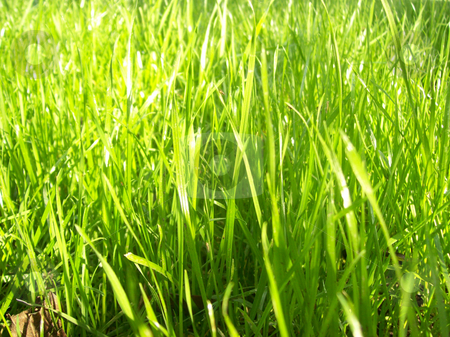 New green grass  stock photo, Texture of natural green grass and herbs in the ground by Natalia Gesto