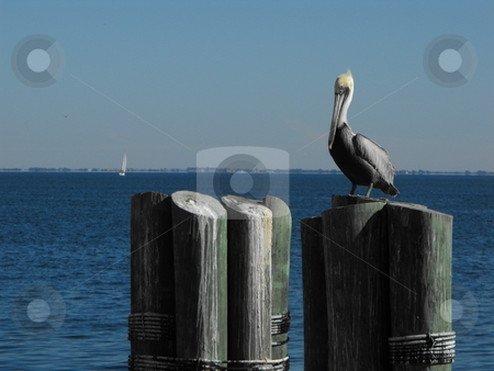 Perfect Perch stock photo, Dock pilings  provide the perfect perch for pelicans and other waterfowl on lakes and oceans.  This brown pelican was sunning itself at St. Pete's Pier on Florida's Tampa Bay. by Dennis Thomsen