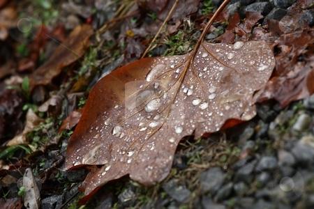 Rain in the Fall stock photo, A leaf covered in rain by Karma Shuford