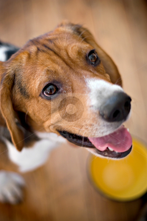 Hungry Beagle stock photo, A young beagle dog eagerly awaits his food while standing over his dish - shallow depth of field. by Todd Arena