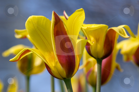 Tulip stock photo, Close up of red and yellow tulip on blue background by Pavel Cheiko