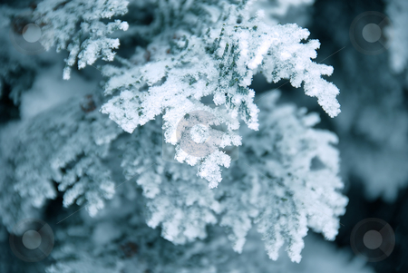 Winter branch stock photo, Winter thuja branch in snow and ice by Julija Sapic