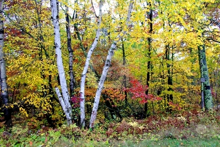 Colorful fall leaves stock photo, A cluster of birch trees is surrounded by brilliant autumn colors of forest hardwoods on a crisp fall day in Minnesota. by Dennis Thomsen