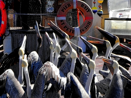 Pelicans beg for treats stock photo, Pelicans are one of the attractions of The Pier at St. Petersburg, Florida.  They can be found daily begging for treats at St. Pete's Pier Bait Shop. by Dennis Thomsen