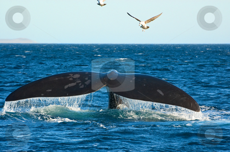 Southern Right whale in Patagonia, Argentina. stock photo, Southern Right whale in Puerto Piramides, Peninsula Valdes, Patagonia, Argentina. by Pablo Caridad
